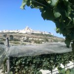 Mdina, the old city serves as a background to this vineyard