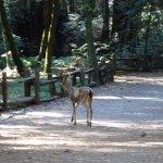 Male Mule deer