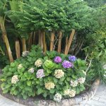 Beautiful hydrangeas on property