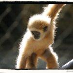 Bébé Gibbon