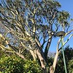 Christmas Star, Aloe tree