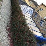 Lovely fuchsia hedge outside of pool enclosure