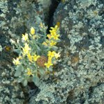 Wildflowers and lichen colonizing a volcanic rock.