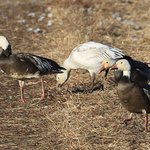 Both the blue morph stage and prevalent, standard white phase of snow geese.