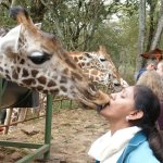 Giraffe picks the feed from the mouth