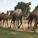 Foto van National Research Centre on Camel