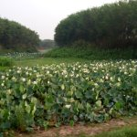 Beautiful lotus flowers at the end point of lake