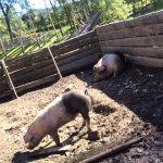 Pigs at Maihaugen