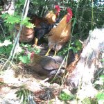 Hens in the forest at Maihaugen