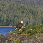 Eagle spotted on Lighthouses, totems and eagles excursion