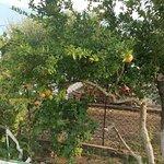 Pomegranates ripening