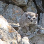 A Rock Hyrax - there are dozens of these cute critters around the Lodge