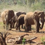 A heart-stopping elephant encounter during a bush walk