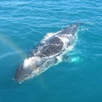 One of many whales frolicking up close to our boat, Freedom III