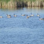 Canada Geese, Turtle State Park, ND