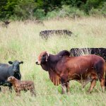 Our herd of beautiful Angus cows and Gallaher the bull.