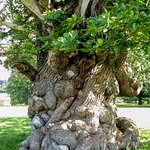 A huge, ancient sweet chestnut tree in the deer park