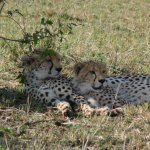 Cheetah - we were so close to them!