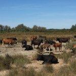 Les vaches / taureaux