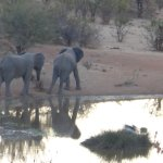 Elephants by waterhole