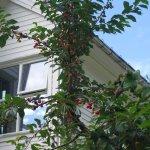 Cherries in the front garden of the hotel