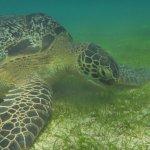 Riesige Wasserschildkröte