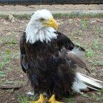 Eagle flew into powerline