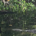 Alligator near our airboat