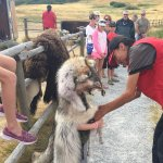 Our guide helping the wolf get ready