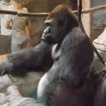 Tambo the gorilla