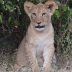 Lion cub on game drive