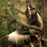 Black-and-white Colobus Monkey