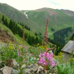 Fireweed & old mine in Picayune Gulch