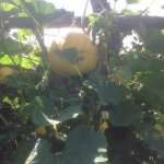 Pumpkin not melon