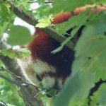 Difficile à trouver ce panda roux