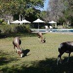 Placid bontebok graze by the pool