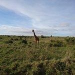 Giraffe Posing 3