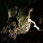 Skeleton of sea lion