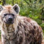 The Hyena feeding was a great sight
