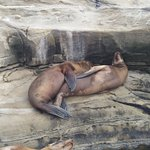 Snuggling sea lions