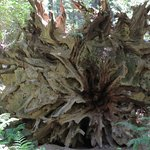 A fallen tree with a HUGE root system. A person would be just a tenth of the height of this trun