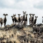 Family of big horn living on the property