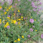 This is wild Cleome and some type of yellow flower that will cover whole fields this time of yea