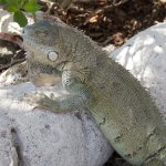 Watch out for the large Iguanas who will scavenge for scraps!