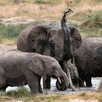 Elephants taking a bath--Serengeti
