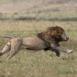 A male lion chases hyenas off his kill--Ngorogoro Crater