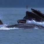 Humpback whales feeding.