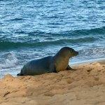 Endangered Hawaiian monk seals visit regularly