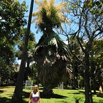 largest flowering palm in the world