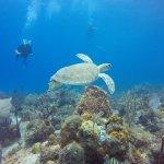 Green Sea Turtle during the Full Day trip to Saona Island